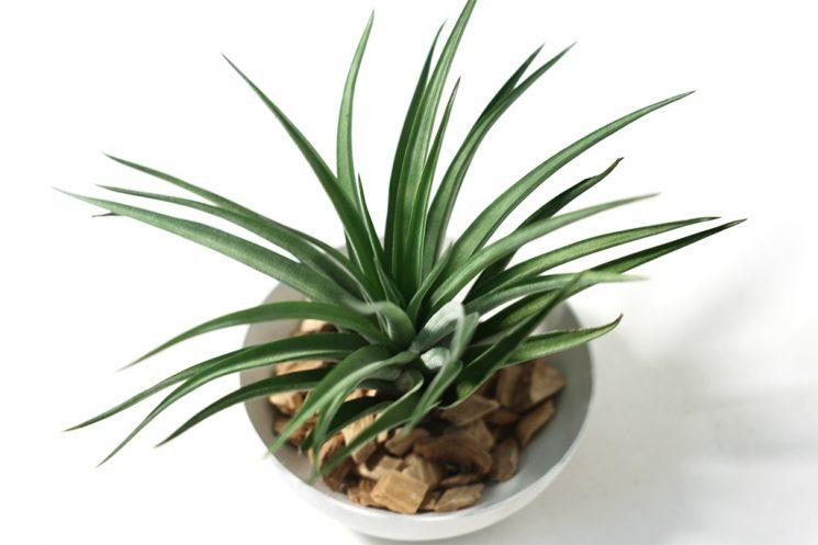 tillandsia-brachycaulus-multiflora