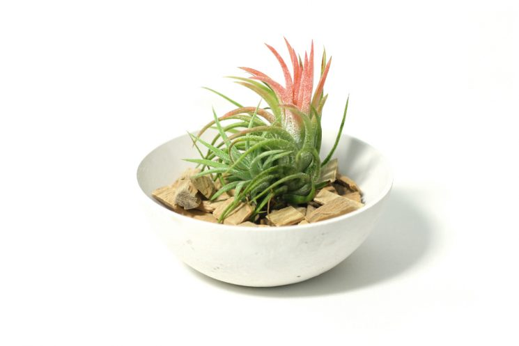 tillandsia-mexiko